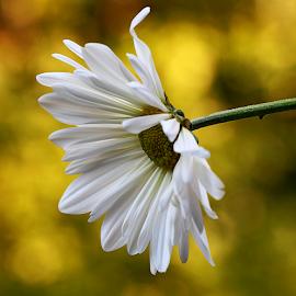 by Dipali S - Flowers Single Flower ( nature, flora, white, chrysanthemum, daisy, bokeh, flower )