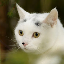 White Cat by Kjersti Narmo - Animals - Cats Portraits ( cat, wood, white, forest )