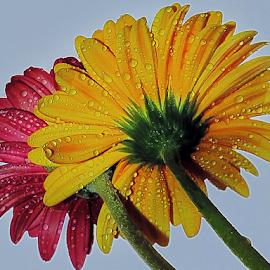 twoo erbers by LADOCKi Elvira - Flowers Flower Arangements ( nature, color, flowers, garden )