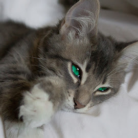 Bailey's Eyes #3 by Danielle Benbeneck - Animals - Cats Kittens ( kitten, cat, gray cat, green eyes, eyes )