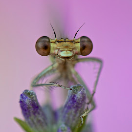 Damselfly by Sergio Frada - Animals Insects & Spiders ( macro )