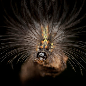 Hairy caterpillar by Jeremy Mendoza - Animals Insects & Spiders ( hairy, macro, nature, caterpillar, crawler,  )