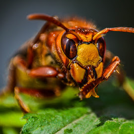 Wasp by Bartok Alpar - Animals Insects & Spiders ( orange, macro, wasp, insect )