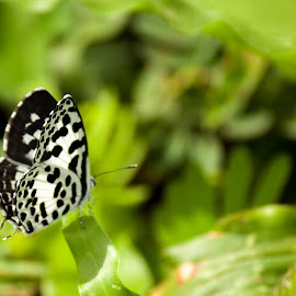 Butterfly (Common Pierrot) by Naresh Kumar - Nature Up Close Hives & Nests ( bangalore, butterfly, valley school, common pierrot, kanakapura road )