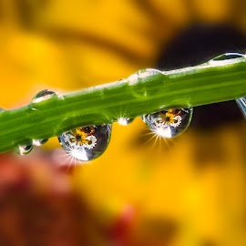 Reunion by Karen Celella - Nature Up Close Natural Waterdrops ( water, flower drop reflections, drop, star, drops, daisy, burst, flowers, geometry,  )