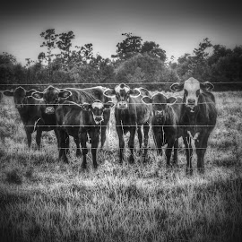 The Crew by Mark Ayers-Stebenne - Animals Other Mammals ( farm, arcadia, black and white, florida, agriculture, cows,  )