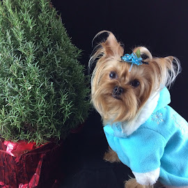 Ready to decorate the tree Mom! by Cindy Bottila - Animals - Dogs Portraits