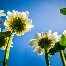 A Bug's Perspective by Spencer Hughes - Nature Up Close Gardens & Produce ( low perspective, blue, below, daisy, flower )