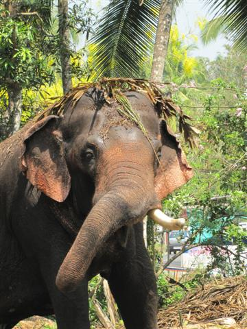 elephant in musth