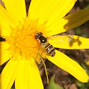 Wasp Mimic Hover Fly