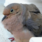 American Mourning Dove