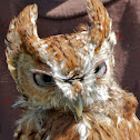 Eastern Screech-Owl (female)