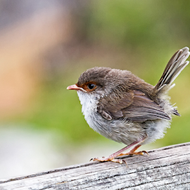 Female Superb Fairy Wren by Gary Beresford - Animals Birds ( female, wren, australia, victoria, feather, fairy wren )