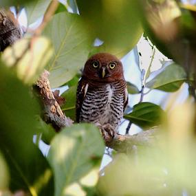 Jungle Owlet.. by Nithya Purushothaman - Animals Birds