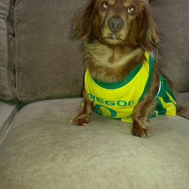 Oregon Duck Cheerleader by Karen Buckmaster - Animals - Dogs Portraits
