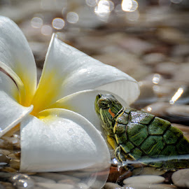 TANNING by Gaz Makarov - Animals Amphibians ( nature, amphibians, close up, turtle, flower, animal )