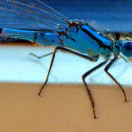 Blue Dragonfly by Richard Lawes - Novices Only Macro