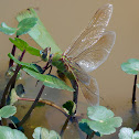 Common Green Darner dragonfly (female, oviposition)