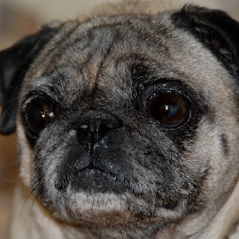 Doggy Face 2 by Rita Uriel - Animals - Dogs Portraits ( face, model, smile, dog, portrait, pug )