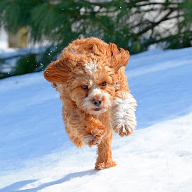 Charge!!! by Steven Liffmann - Animals - Dogs Running ( snow, intense, puppy, cavapoo, dog, running,  )