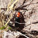 Desert Blister Beetle