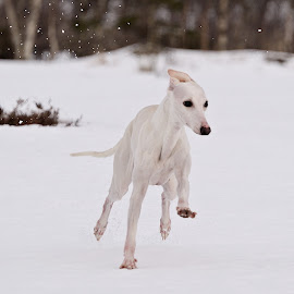 Whippet by Marius Birkeland - Animals - Dogs Running ( dogs, snow, dog, animal, whippet )