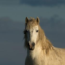by Dragomir Taborin - Animals Horses