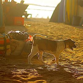 Walking Alone by Mursalat Mustaring - Animals - Dogs Puppies ( kuta, bali, dogs )