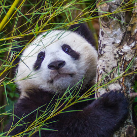 Panda by Adrien Sutter - Animals Other ( panda, asia )