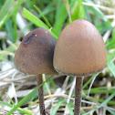Coprophilic fungi
