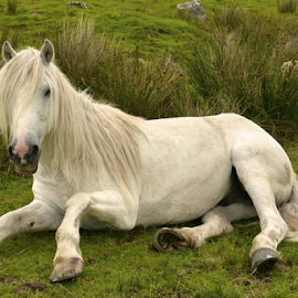 The White Horse by Holly Lent - Animals Horses ( green pasture, laying down, horse, white horse )
