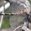 Gray Sand-dragon dragonfly