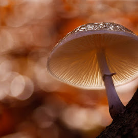 in the light by Constant van Bommel - Nature Up Close Mushrooms & Fungi ( macro, backlight, autumn, porcelain fungus, forest )
