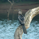 darters or snakebirds