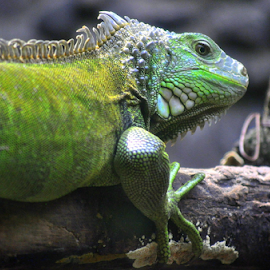 by Dino Rimantho - Animals Reptiles ( reptiles, wild, animals, nature )