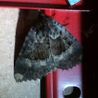 Old lady moth