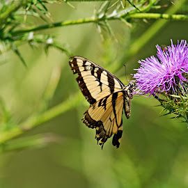 Swallowtail by Laura Emily - Novices Only Wildlife ( butterfly, thistle, nikon, flower, outside, dslr )