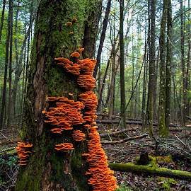 Fall in the smookies by Matthew Cooper - Nature Up Close Mushrooms & Fungi ( orange, fungi, tree, fall, gsmnp,  )