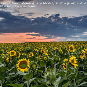 sunflower dawn by Stratos Lales - Typography Quotes & Sentences ( love, clouds, field, dawn, sunflower )