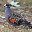 Common Bronzewing (Pigeon)