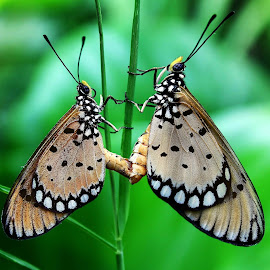 Matting Butterfly by Muhammad Yoserizal - Animals Insects & Spiders