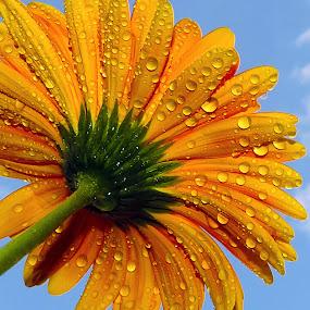 yellow gerber by LADOCKi Elvira - Flowers Single Flower ( nature, flowers, garden )