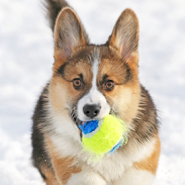 Tennis ball by Mia Ikonen - Animals - Dogs Puppies ( playing, retrieving, action, pembroke welsh corgi, finland )