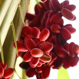 Dates by Ansari Joshi - Nature Up Close Gardens & Produce ( red dates, red, dates, summer, produce )