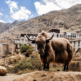 A Yak Of a Moment by Ethan Fox Miles - Landscapes Travel ( animals, mountain, horns, places, tibet, travel, architecture, religion, buddhism, color, monastery, asia, landscapes )