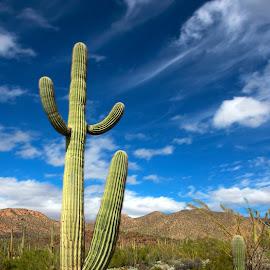 Happy Cactus by Lee McLaughlin - Landscapes Deserts ( desert, arizona, funny, saguaro, cactus )