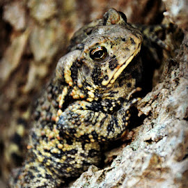A Toad in a Tree by Chandra Whitfield - Animals Amphibians ( tree, nature, bark, amphibian, wildlife, toad, hop )