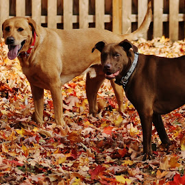 Soccer dogs  by Anna Tripodi - Animals - Dogs Playing ( love, playing, dogs, fall, leaves, soccer,  )