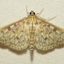 Bold-feathered Grass Moth