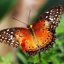 My Buterfly by Muhammad Nizam - Novices Only Macro (  )